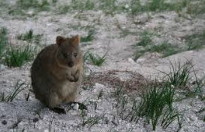 Quokka_Rottnest Island, Western Australia